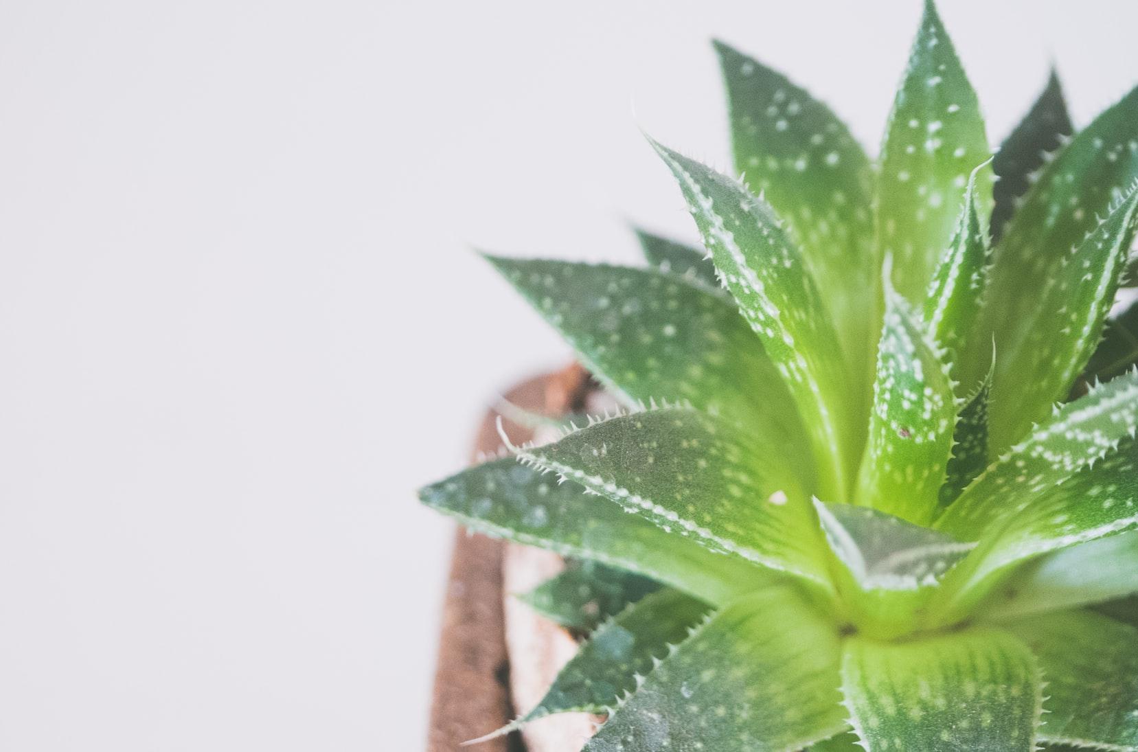 Các dưỡng chất trong nha đam có khả năng làm dịu da nhanh chóng.