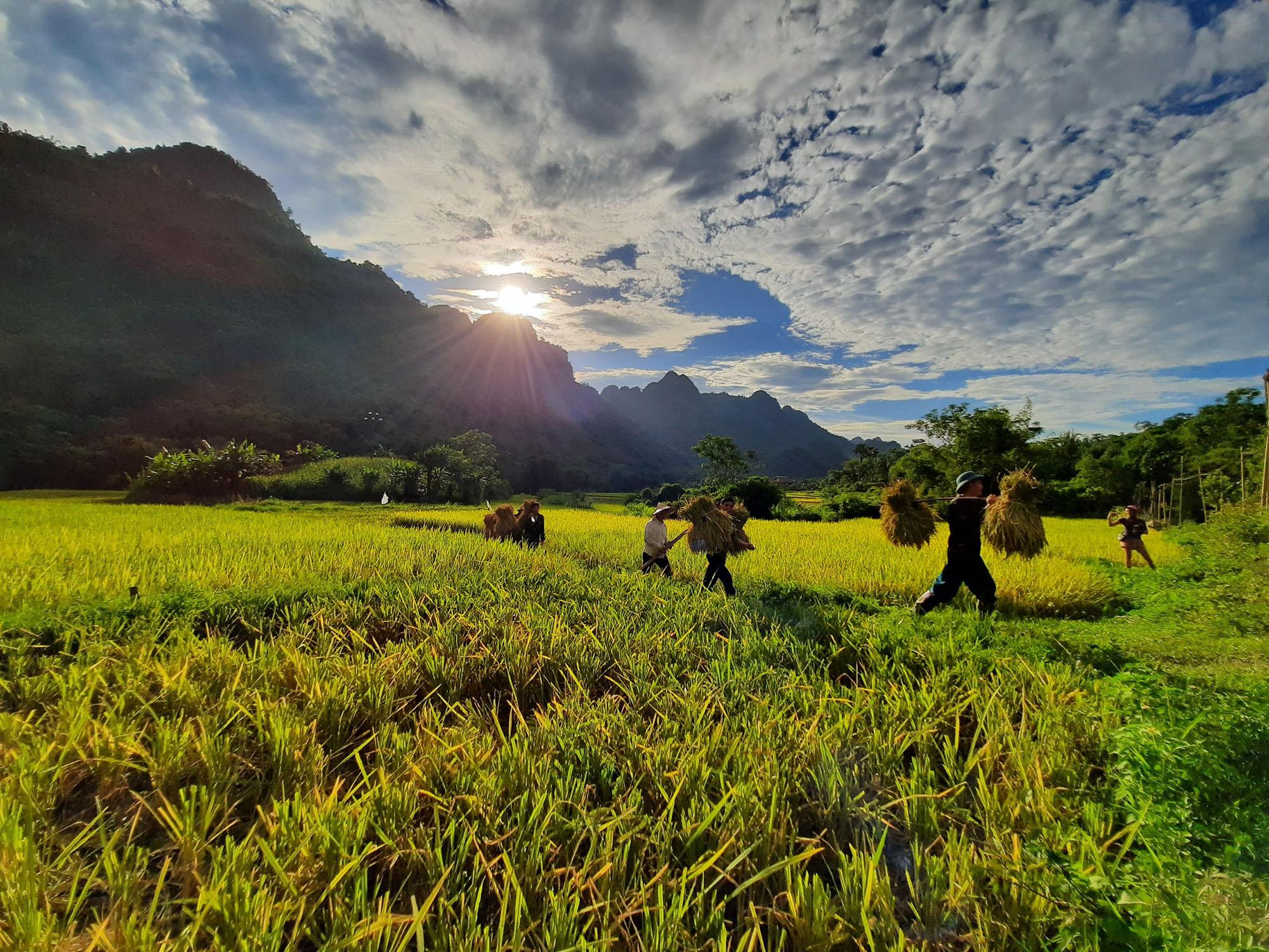 cánh đồng lúa chín
