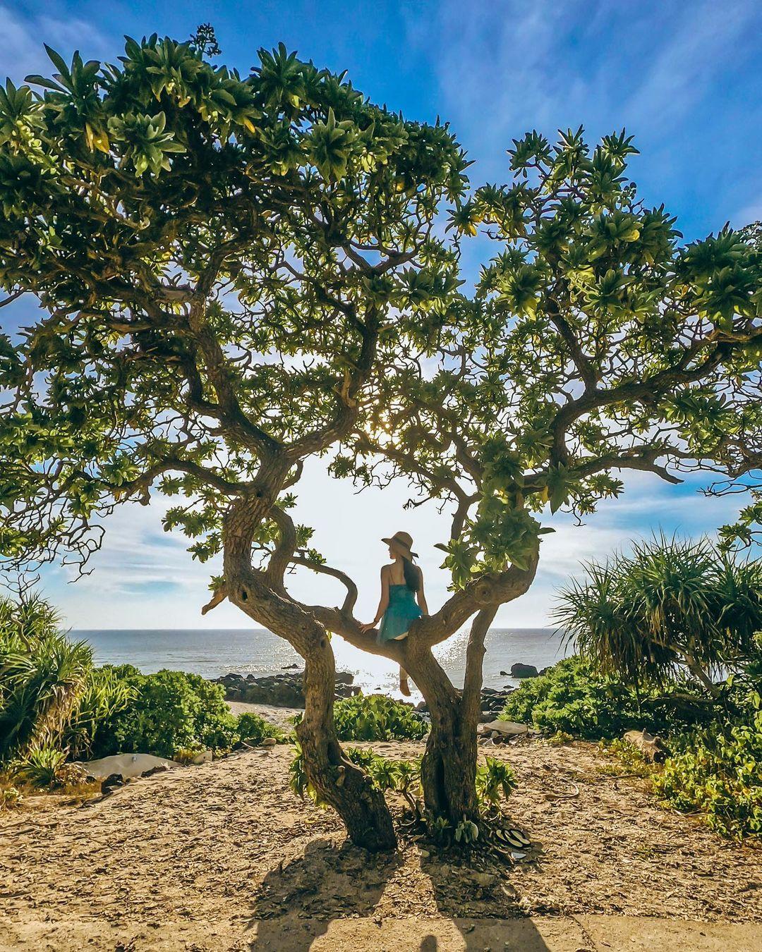 Cây phong ba cô đơn thuộc đảo bé du lịch lý sơn
