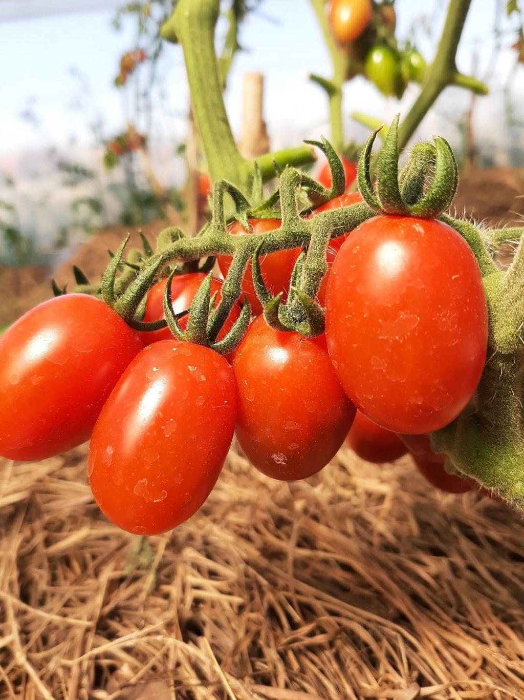 Đà Lạt nông trại cà chua