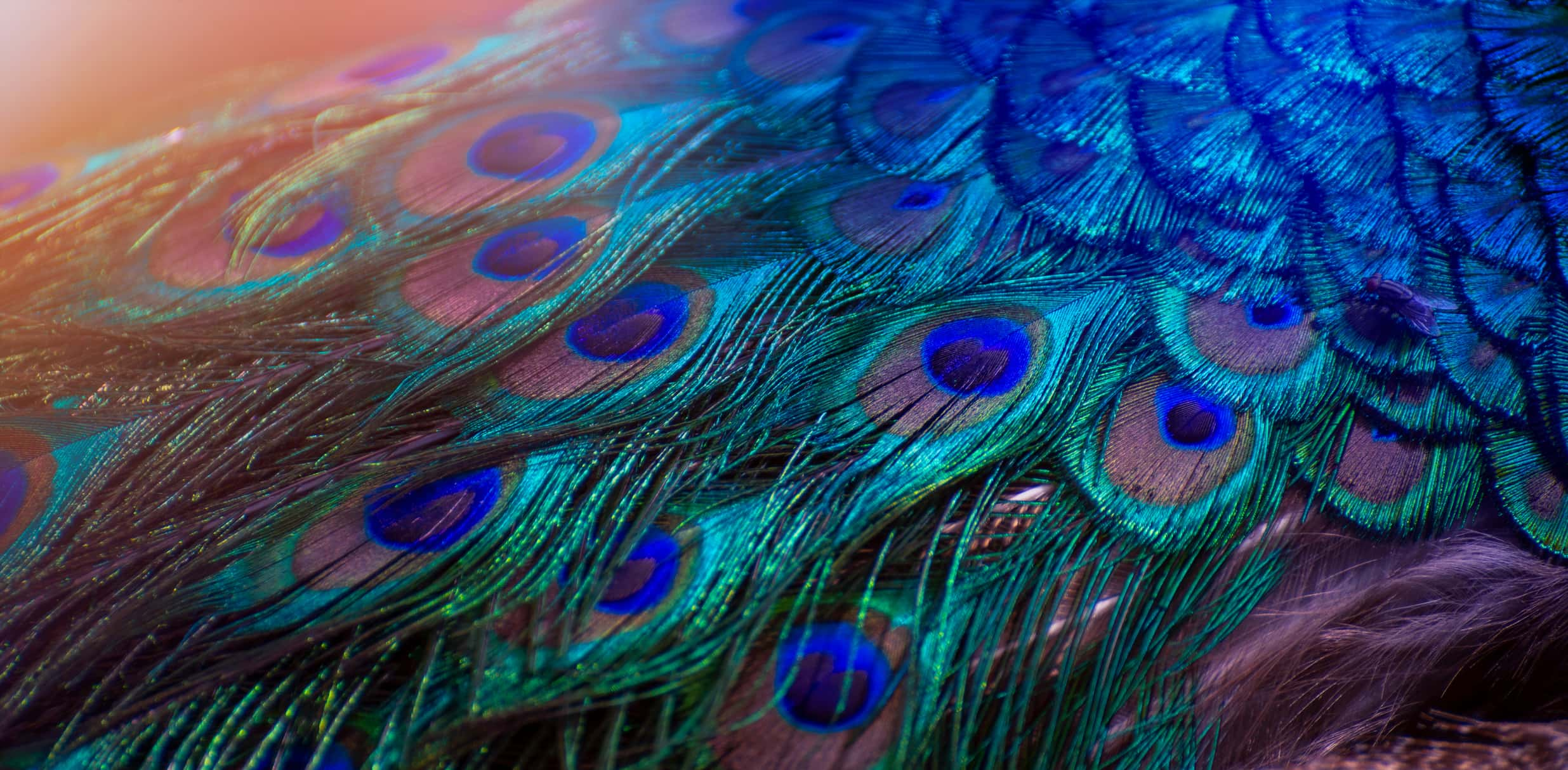 trắc nghiệm chiếc lông vũ của chim công