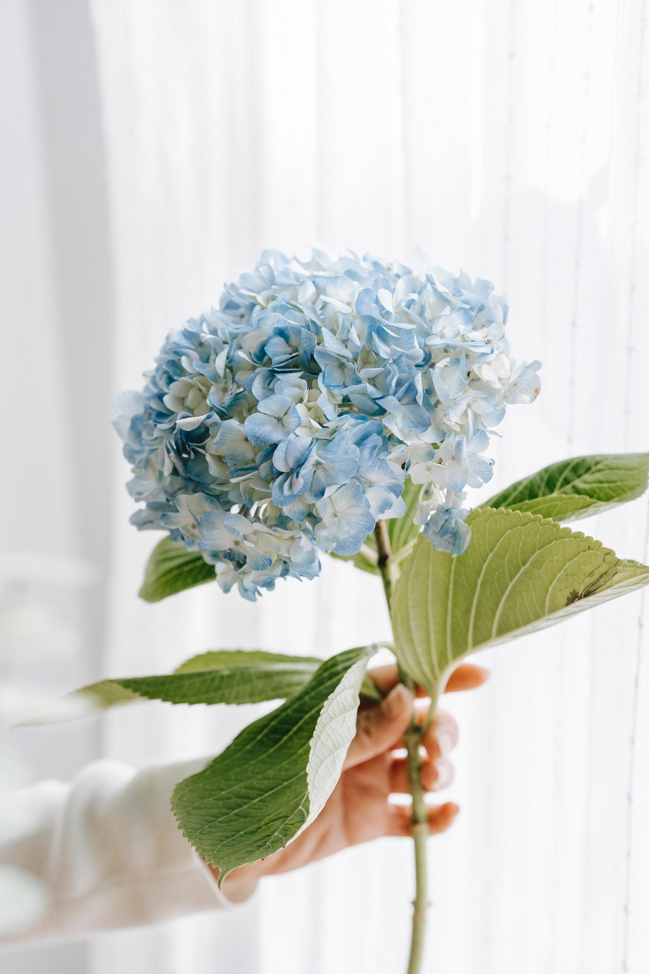 song ngư hợp với hoa cẩm tú cầu